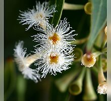 White Flowering Eucalypt by Gayle Shaw