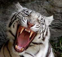 WHITE TIGER YAWNING by Claude Desrochers