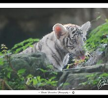 BABY WHITE TIGER  by Claude Desrochers