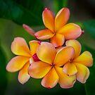 Apricot Frangipani by Keith G. Hawley