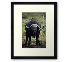 Buffalo Drinking Framed Print