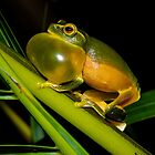 Dainty Green Tree Frog by D Byrne