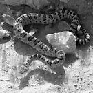 Diamond Back Rattlesnake by Gene Praag