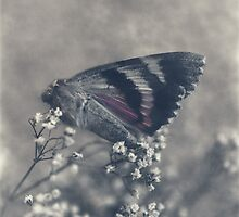 The fading blush by mibrahim