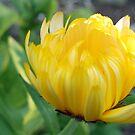 Sunshine in bloom by georgiegirl