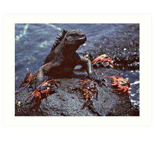 Marine Iguana and Sally Lighfoot Crabs Art Print