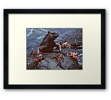 Marine Iguana and Sally Lighfoot Crabs Framed Print