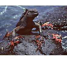 Marine Iguana and Sally Lighfoot Crabs Photographic Print