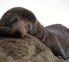 Fur Seal by Bassam  Shmordok