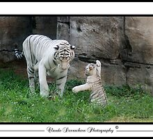 WHITE TIGERS by Claude Desrochers