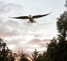 Black-Shouldered Kite at dusk. by Andrew Holford