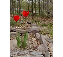 Red tulips in Pennsylvania Dutch country Photographic Print