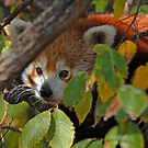 Red Panda in Hiding by Bonnie T.  Barry