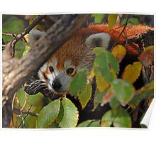 Red Panda in Hiding Poster