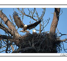 BALD EAGLE COMING BACK by Claude Desrochers
