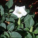 White Flower by bluekrypton