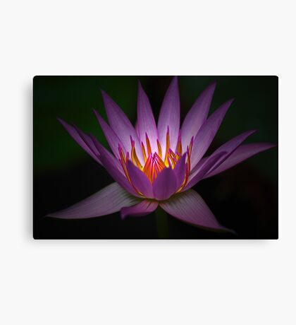 Waterlily Glow Canvas Print
