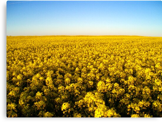 Fields of gold by James Stevens