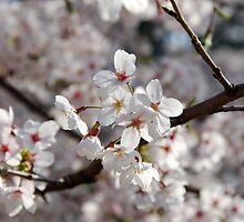 Sakura by Harlequitmix