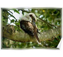 Preening Kookaburra Poster