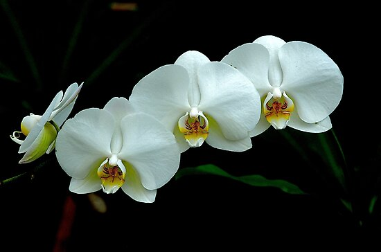 White Orchid by Jeffrey  Sinnock