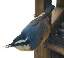 Nut Hatch at Feeder  by MegaPixel