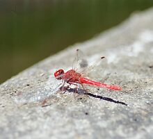 Red Dragon Fly 2 by Matt White