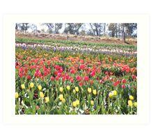 Tulip field at Montrose, Victoria Art Print