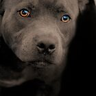 Blue Staffordshire Bull Terrier by PhotoBull