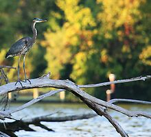 Young Blue Heron by Paul Lenharr II
