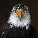 Bald Eagle by Jim Cumming