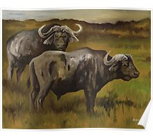 Old Bulls - Cape Buffalo Poster