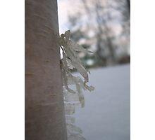 Birch Photographic Print