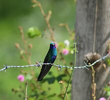 Sparkling Violetear Hummingbird on a Fence by rhamm