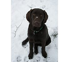 Snowy Lab Photographic Print