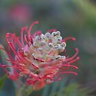 Focussed Grevillia by Sam Atwood