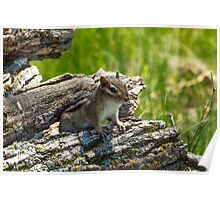 Chipmunk Peeking Out Of A Wood Pile Poster