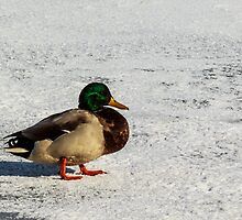 Drake Mallard On Ice And Snow by AgapeMn