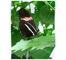 Postman butterfly - Closed wings Poster