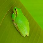 Green frog by bishopsmead