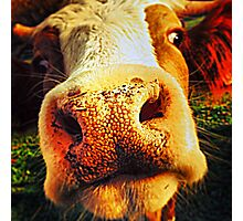 Cessy the cow Photographic Print