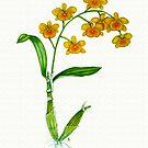 Golden-bow Dendrobium - Dendrobium chrysotoxum by Sue Abonyi
