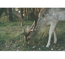 Deer in the woods searching for food Photographic Print