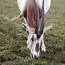 Scimitar horned oryx by Roxy J