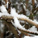 Snowy branch by Roxy J