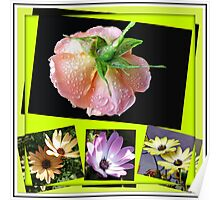 Sunshine and Rain - Rose and Cape Daisies Collage  Poster