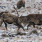 Stags Rutting in the Snow by derekbeattie