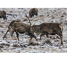 Stags Rutting in the Snow Photographic Print