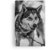 Finland Husky Canvas Print