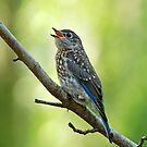 Little Chirping Bluebird by Bonnie T.  Barry